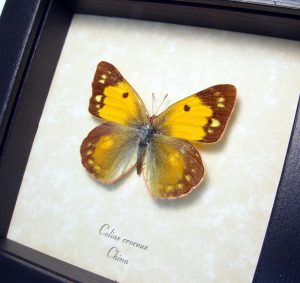 Dark Clouded Yellow Butterfly Colias croceus Female ooak