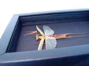Conehead Praying Mantis Rare Insect Oddity Moonlight Display ooak