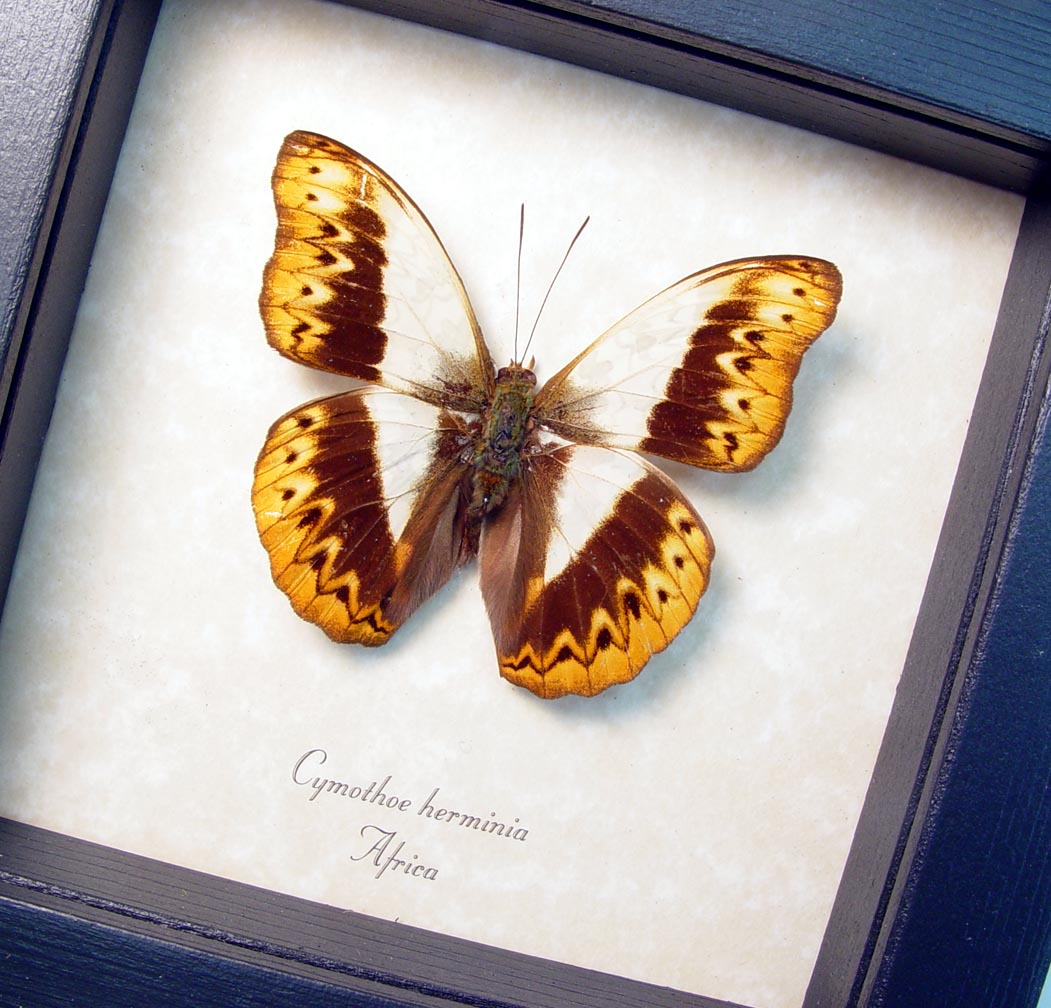 Herminia Glider Butterfly African Kuba Cloth Markings ooak