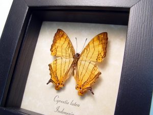 Framed Cyrestis lutea Orange Map Butterfly ooak
