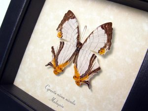 Framed Butterfly Straight line Map Wing Cyrestis nivea nivalis ooak