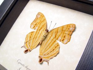 Golden Map Butterfly Cyrestis thyonneus ooak