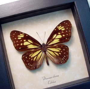 Danaus cleona Yellow Tiger Butterfly ooak