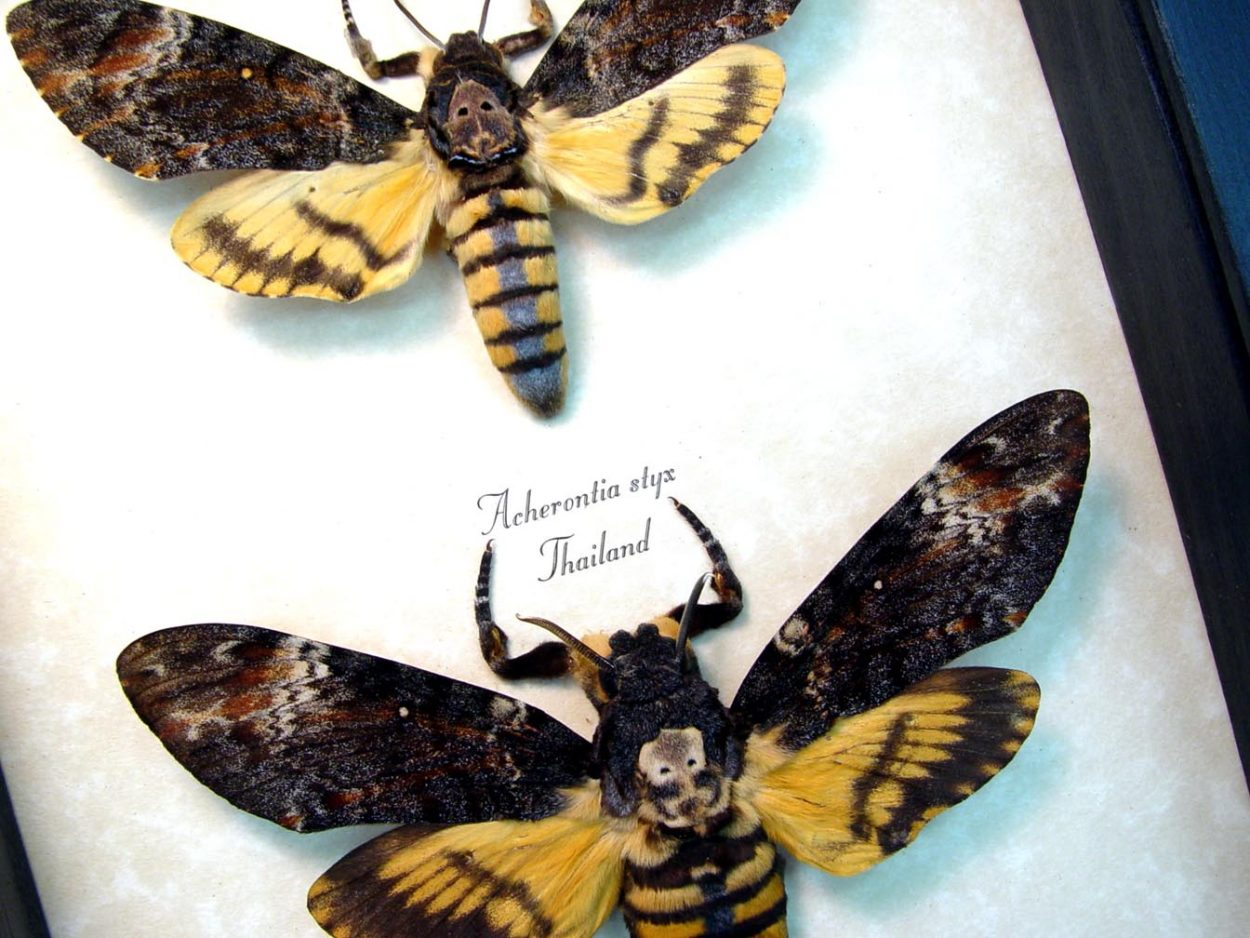 Death Head Moth Set Female Moths ooak