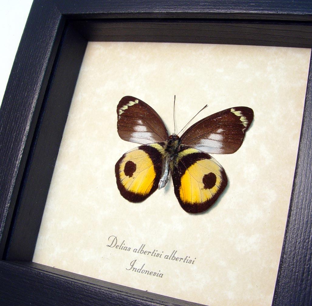 Inkspot Butterfly Framed Delias albertisi ooak