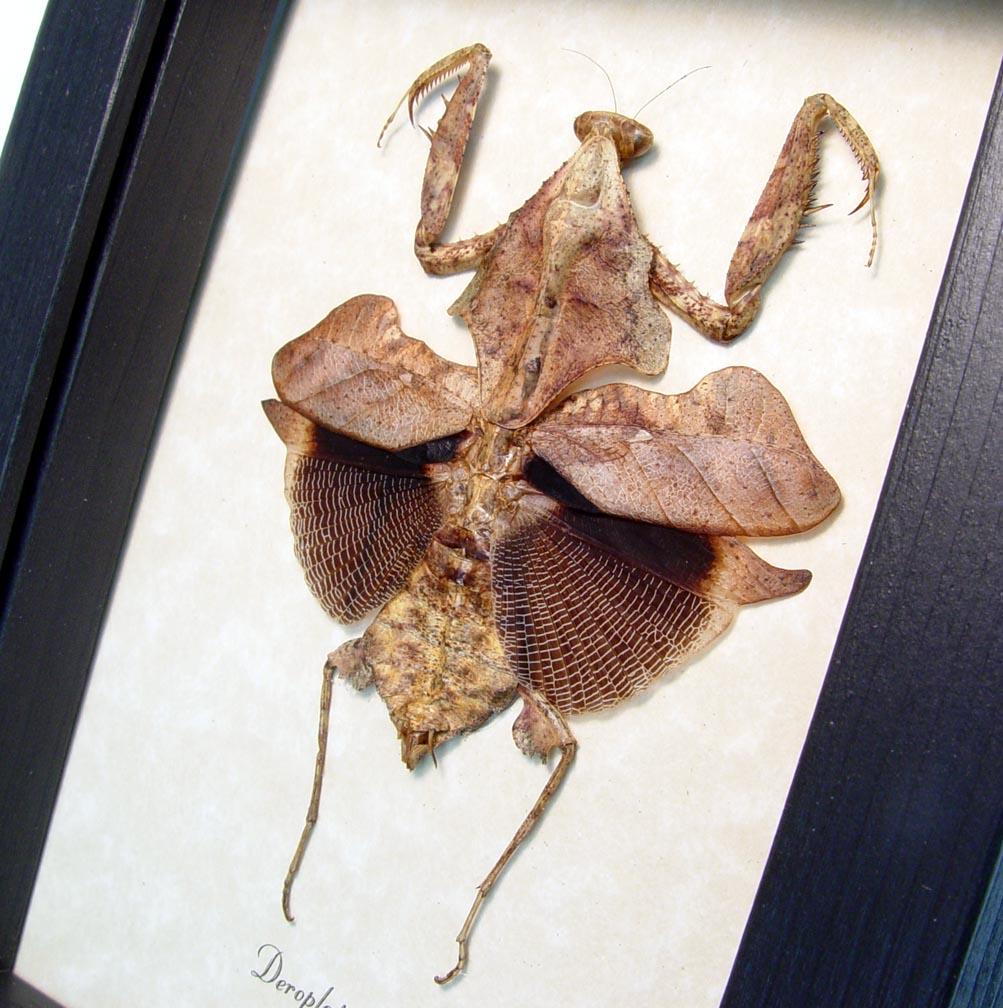 Dead Leaf Mantis Framed Praying Mantis Deroplatys lobata ooak