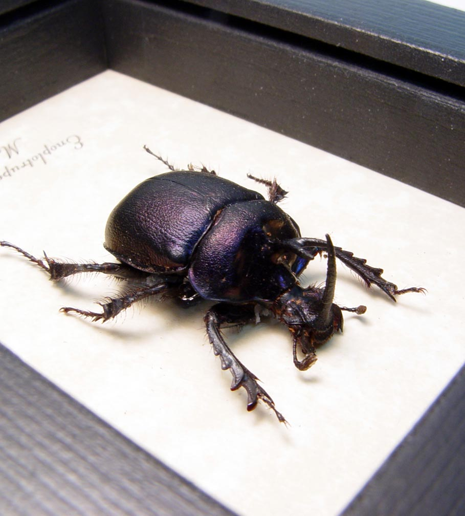 Purple Scarab Framed Beetle Framed Enoplotrupes sharpi ooak