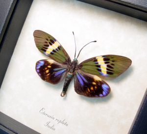 Framed Eterusia repleta Day Flying Moth ooak