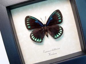 Eumaeus childrenae male Blue Green Butterfly ooak