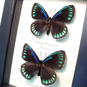 Eumaeus childrenae Pair green Blue Butterflies ooak