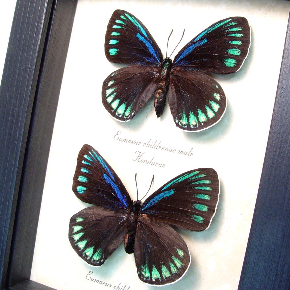 Eumaeus childrenae Pair green Blue Butterflies ooak