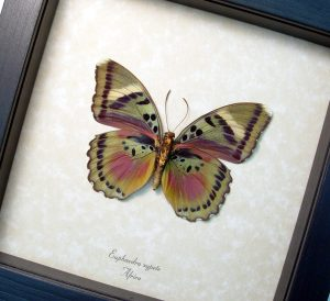 Euphaedra xypete Female Pink Forester African Butterfly ooak