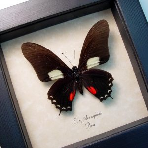 Eurytides xynias Black Swordtail Framed Butterfly ooak