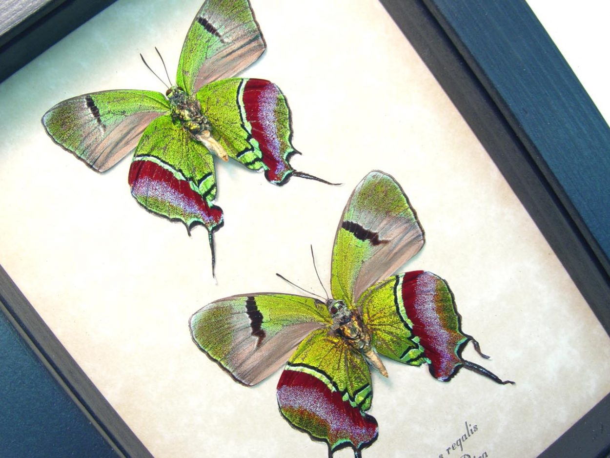 Evenus Regalis Pair verso Regal Hairstreak Framed Costa Rica Butterflies ooak