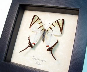 White Swallowtail Butterfly Graphium agetes ooak