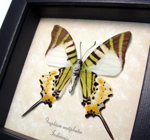 Five bar Swordtail Graphium antiphates Framed Butterfly ooak