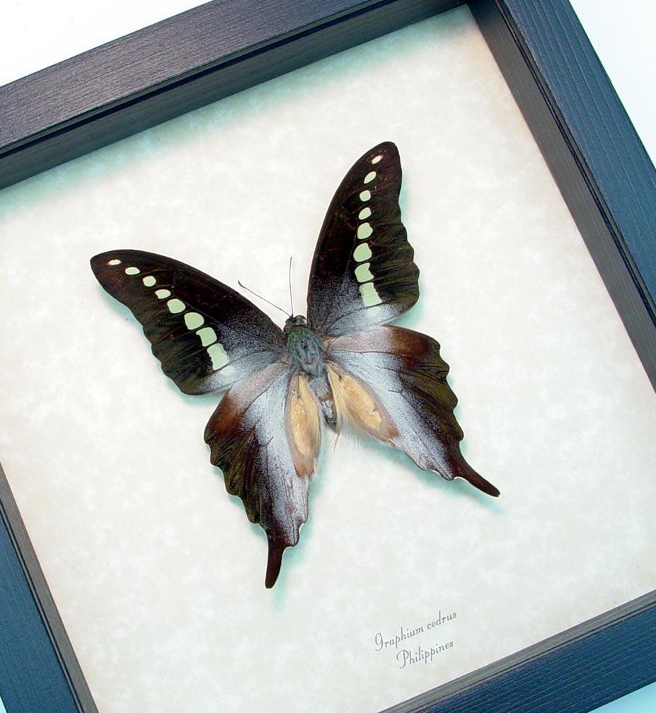 Framed Butterfly Green Banded Swallowtail ooak