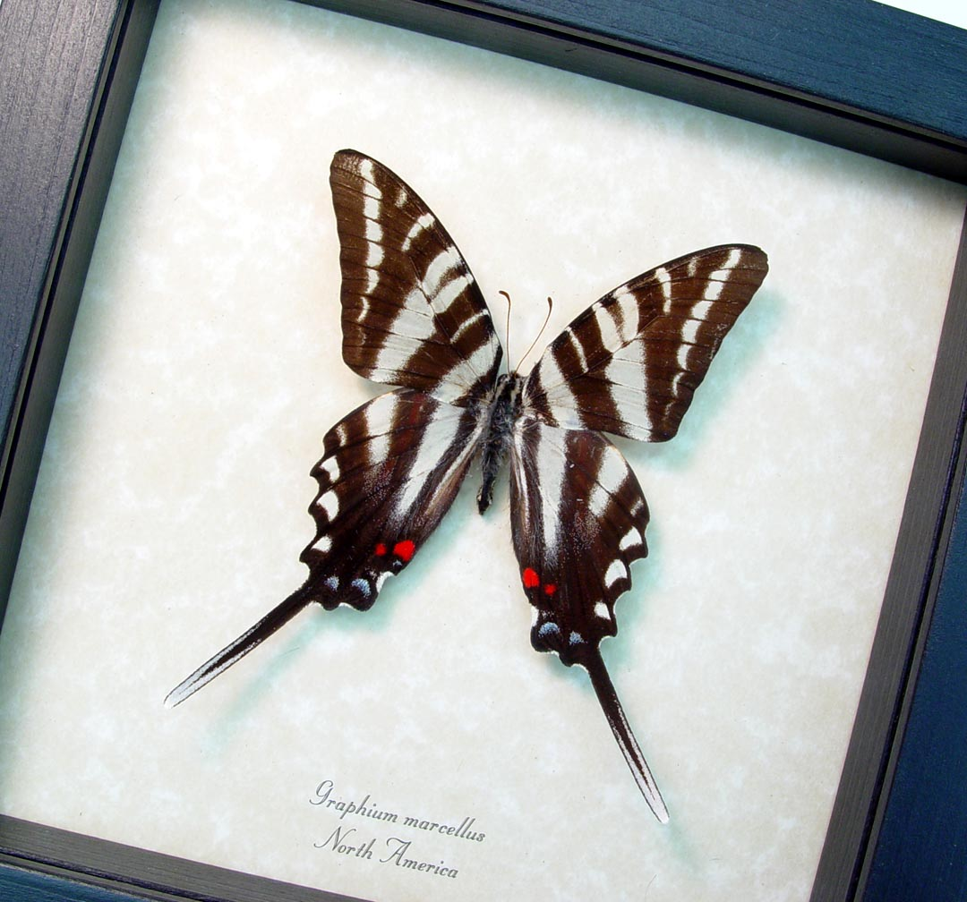 Graphium Marcellus Large Zebra Swallowtail Butterfly