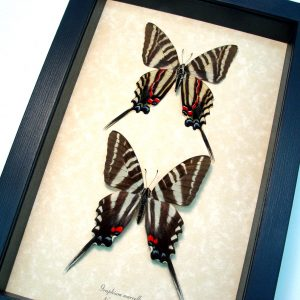 Graphium Marcellus Large Set Zebra Swallowtail Butterflies ooak