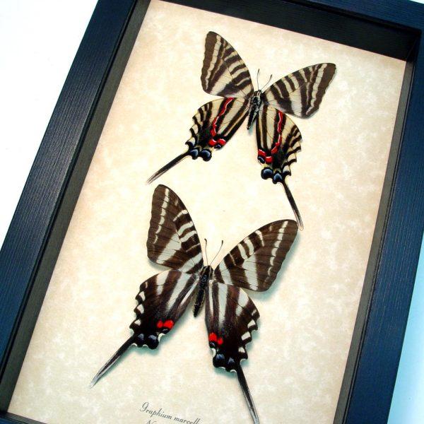 Graphium Marcellus Large Set Zebra Swallowtail Butterflies