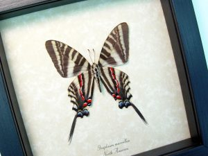 Graphium Marcellus Large verso Zebra Swallowtail Butterfly ooak