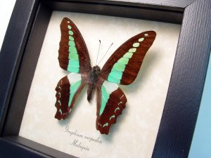 Blue triangle Butterfly Framed Graphium sarpedon ooak