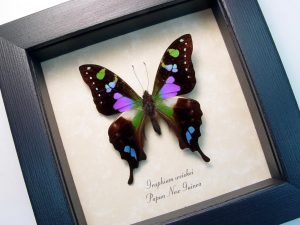 Real Framed butterflies Framed Butterfly Art