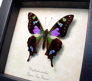 Purple Spotted Swallowtail Framed Butterfly Fuchsia OOAK