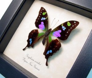 Purple Spotted Swallowtail Framed Butterfly OOAK