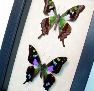 Graphium weiskei Pair Purple Spotted Swallowtail ooak