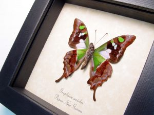 Framed Graphium weiskei Butterfly Display ooak