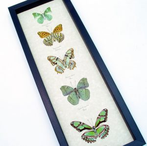 Green Leaf Mimic Butterfly Collection Framed Butterflies ooak