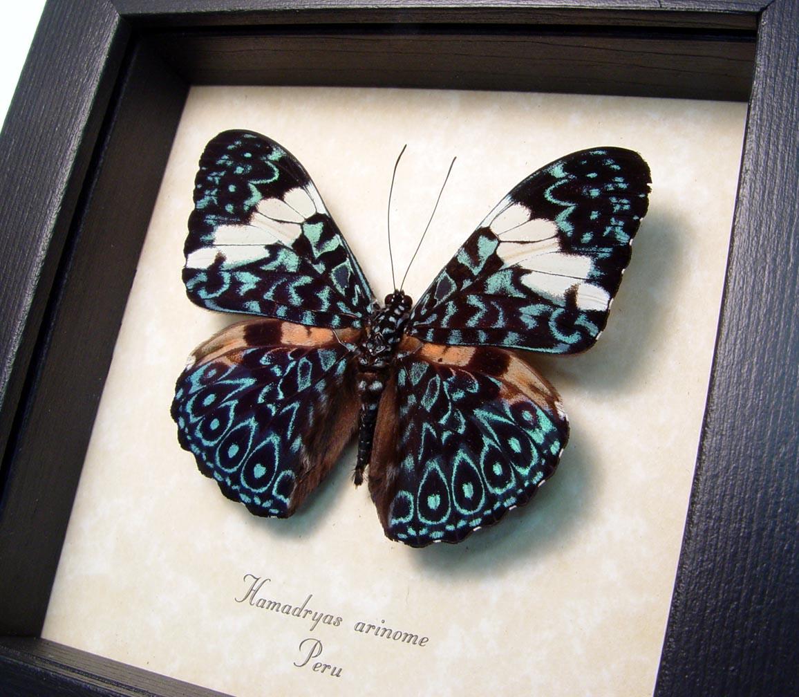 Blue Paisley Cracker Butterfly Hamadryas aeinome ooak