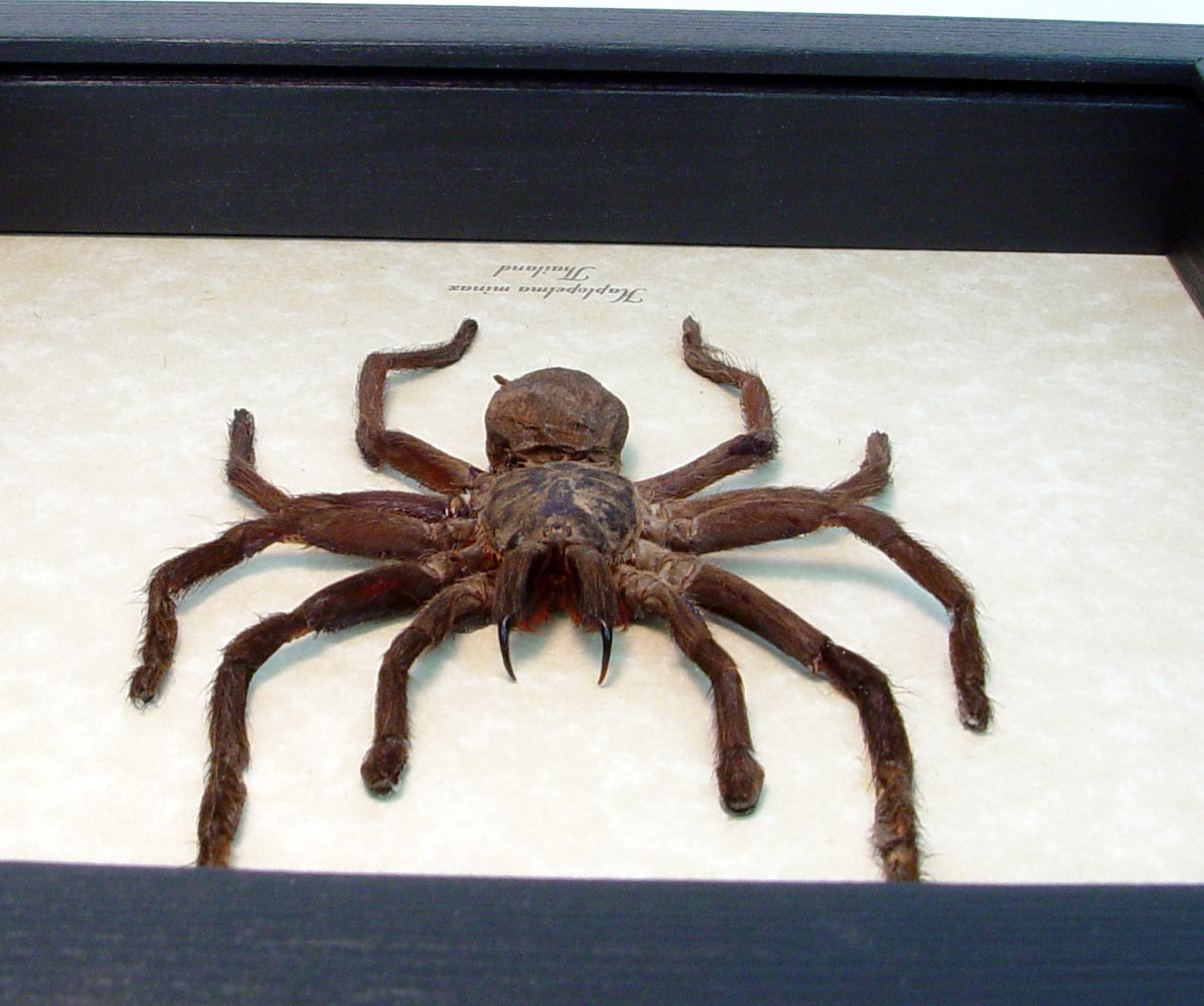 Haplopelma minax Black Thailand TarantulaFramed Spider ooak