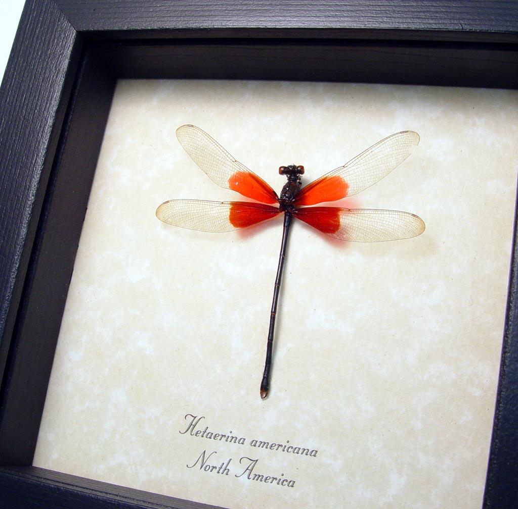 Rubyspot Damselfly Hetaerina americana Real Framed Damselfly ooak