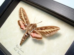 Hyles lineata White Lined Sphinx Moth ooak