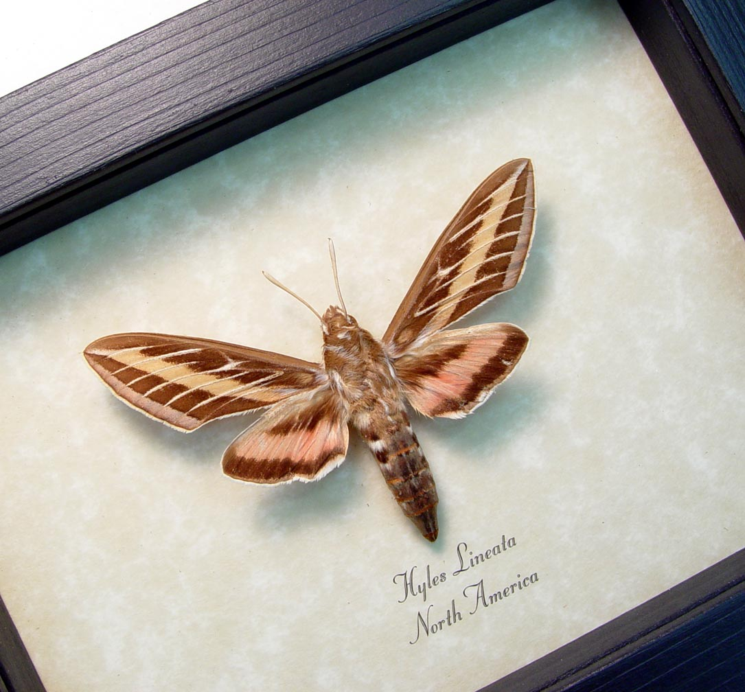 Hyles lineata White Lined Sphinx Framed Moth ooak