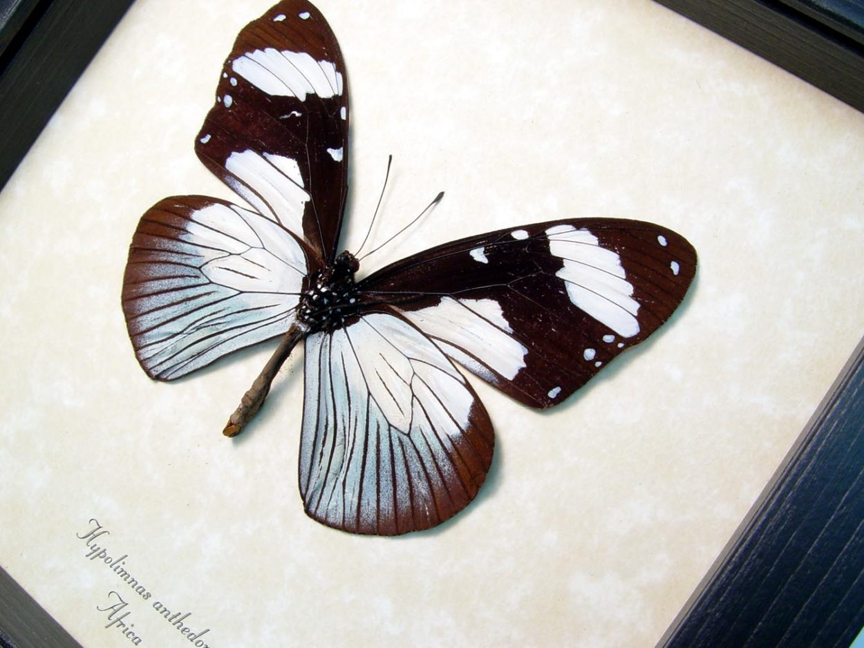 Hypolimnas anthedon Verso Blue African Butterfly ooak