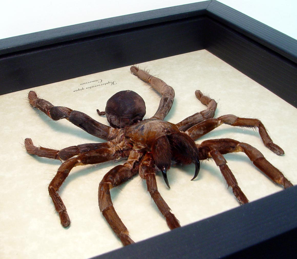 Hysterocrates gigas Rusty Red Baboon spider Framed Tarantula ooak