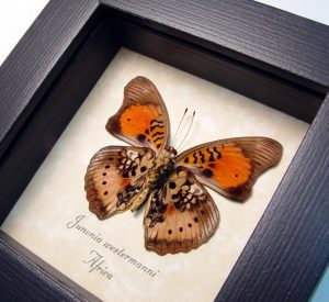 Junonia westermanni verso Blue Spot Pansy Butterfly ooak