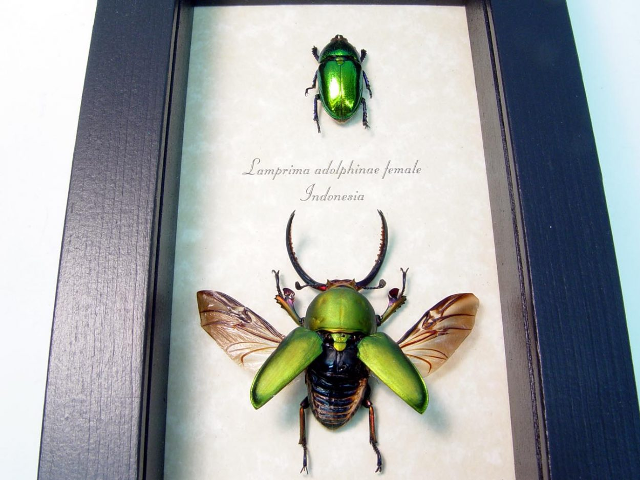 Framed Beetle Set Lamprima Adolphinae Metallic Stag Beetles ooak