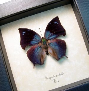 Blue Hatchet Wing Real Framed Butterfly ooak