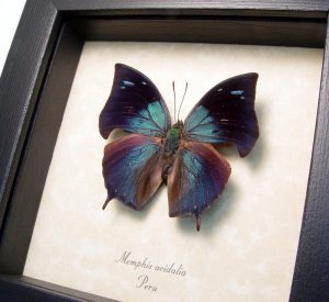 Framed Blue Butterfly Memphis acidalia ooak