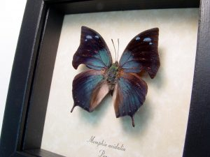 Real Framed Butterfly Memphis acidalia ooak
