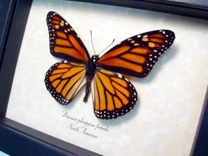 Framed Monarch Butterfly Danaus plexippus Female ooak