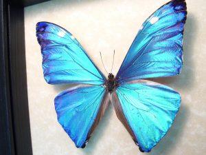 Blue Morpho Framed Butterfly Morpho Adonis ooak