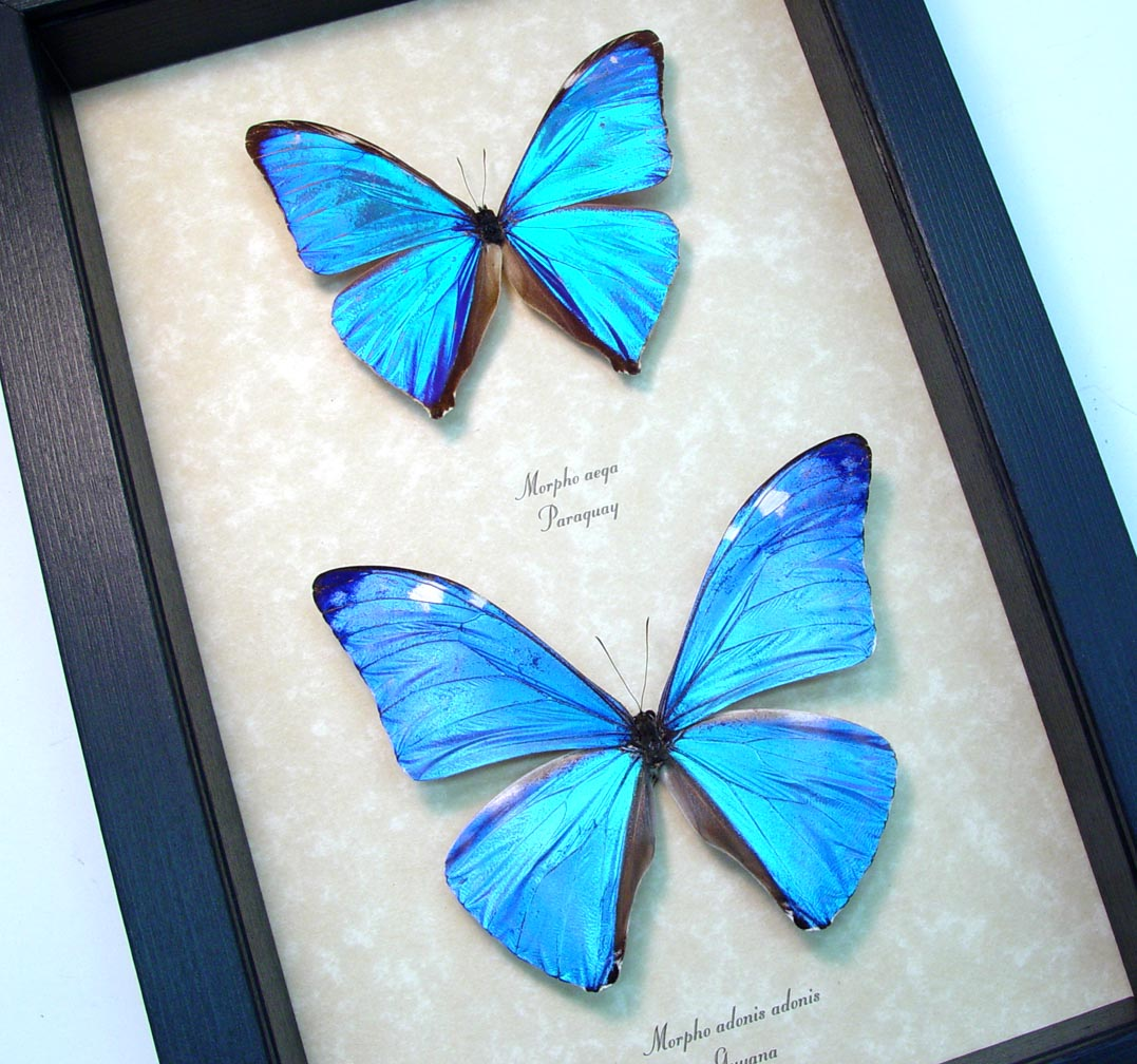 Blue Morpho Butterfly Collection Framed Butterflies ooak