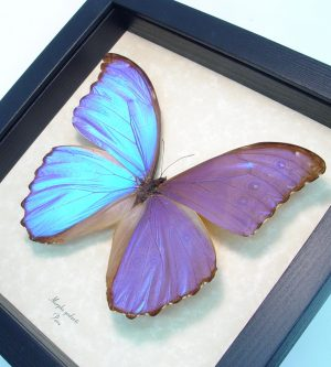 Framed Purple Butterfly Morpho godarti ooak