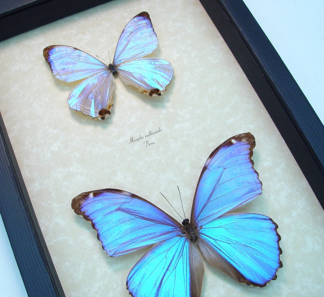 Mother of Pearl Butterflies Purple Morpho Butterfly Collection
