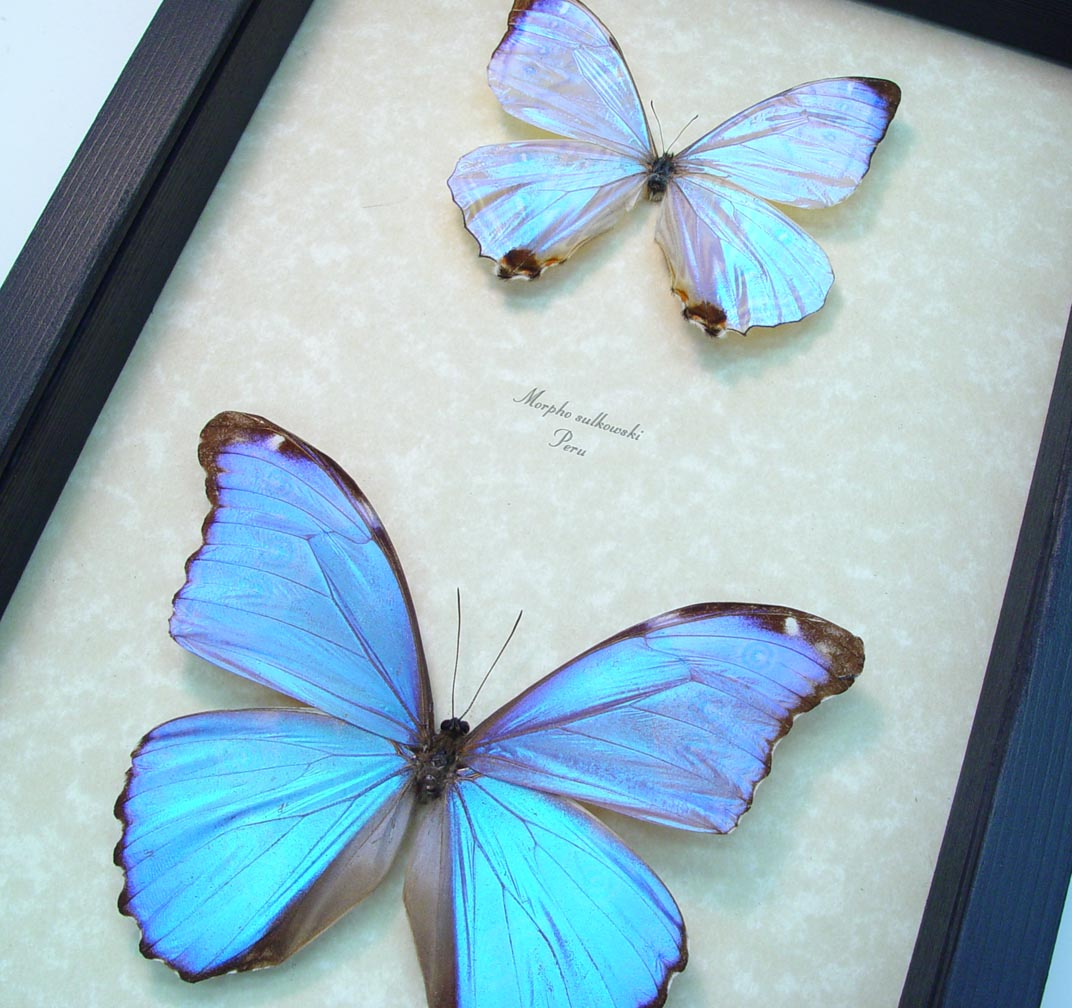 Mother of Pearl Butterflies Purple Morpho Butterfly Collection ooak